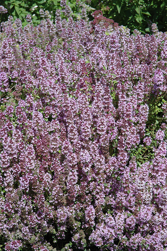 ... size photo of Mother-of-Thyme (Thymus praecox) at Allisonville Nursery