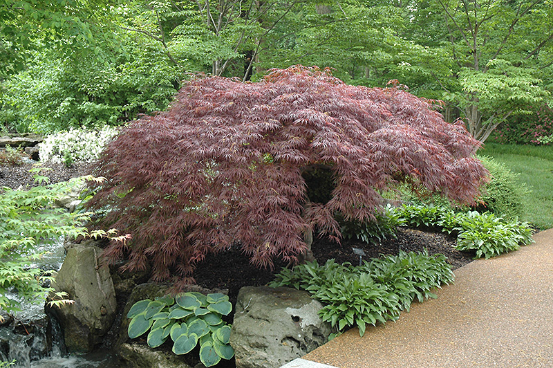 Red select japanese maple acer palmatum 39 red select 39 in for Japanese garden plants and trees