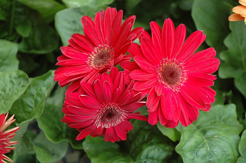 Fuchsia Gerbera Daisy