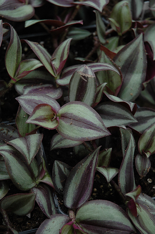 Wandering jew zebrina pendula in indianapolis carmel fishers noblesville geist indiana in at - Wandering jew plant name ...