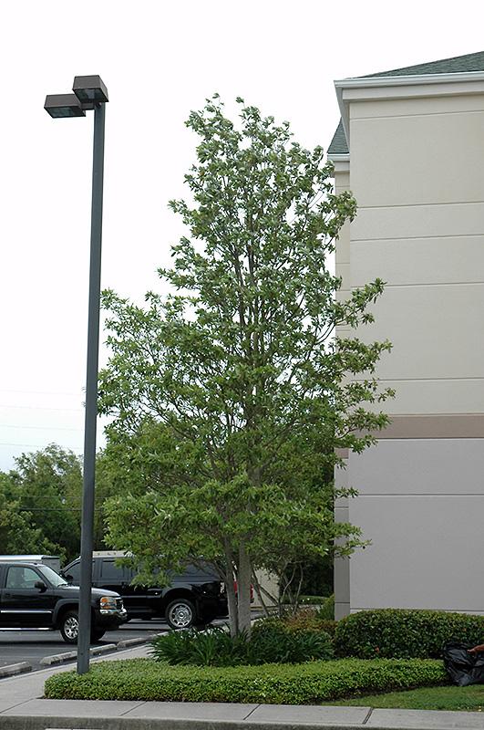 Sweetbay Magnolia Magnolia Virginiana In Indianapolis Carmel