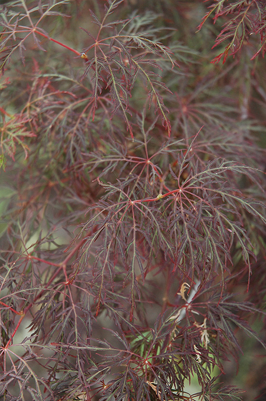 Red Feathers Japanese Maple Acer Palmatum Red Feathers In