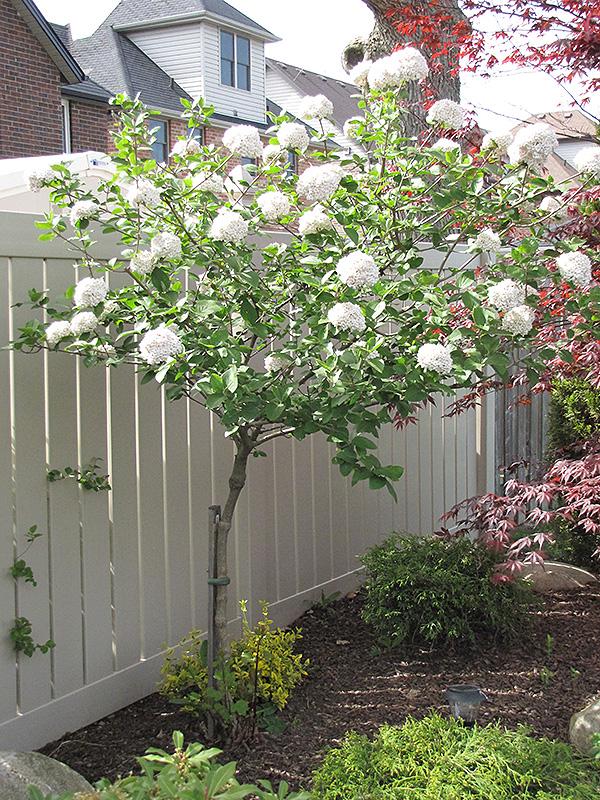Cayuga Fragrant Viburnum Tree Form Viburnum X
