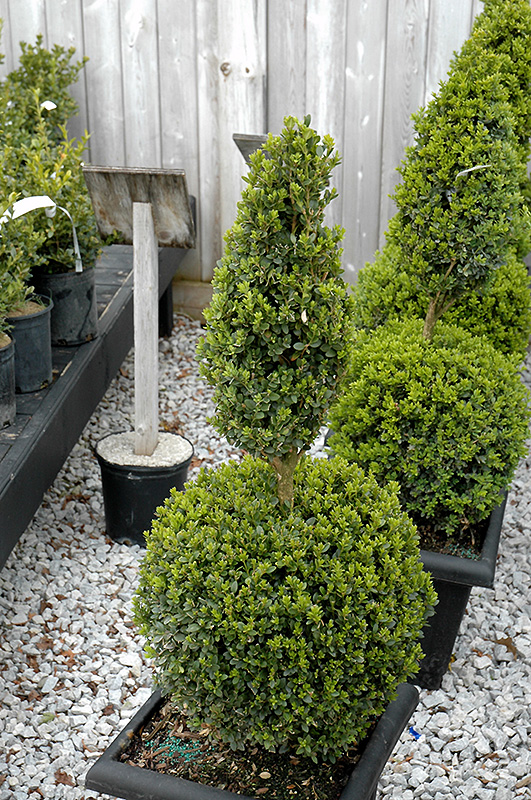 Green mountain boxwood poodle form buxus green mountain poodle green mountain boxwood poodle form buxus green mountain poodle workwithnaturefo